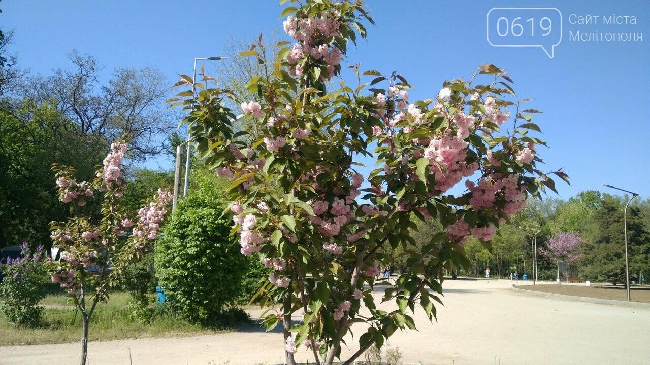В мелитопольском парке зацвела сакура, фото-3