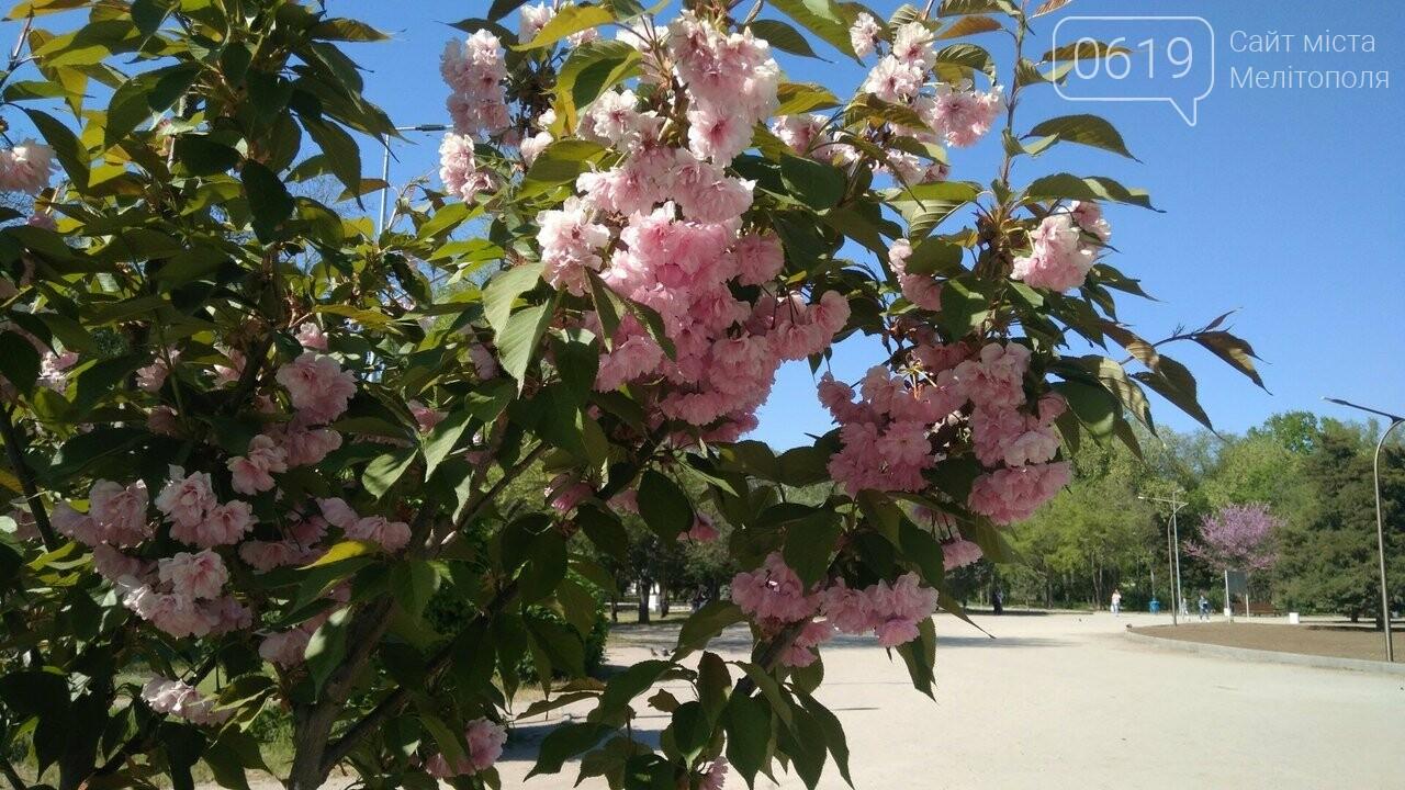 В мелитопольском парке зацвела сакура, фото-1