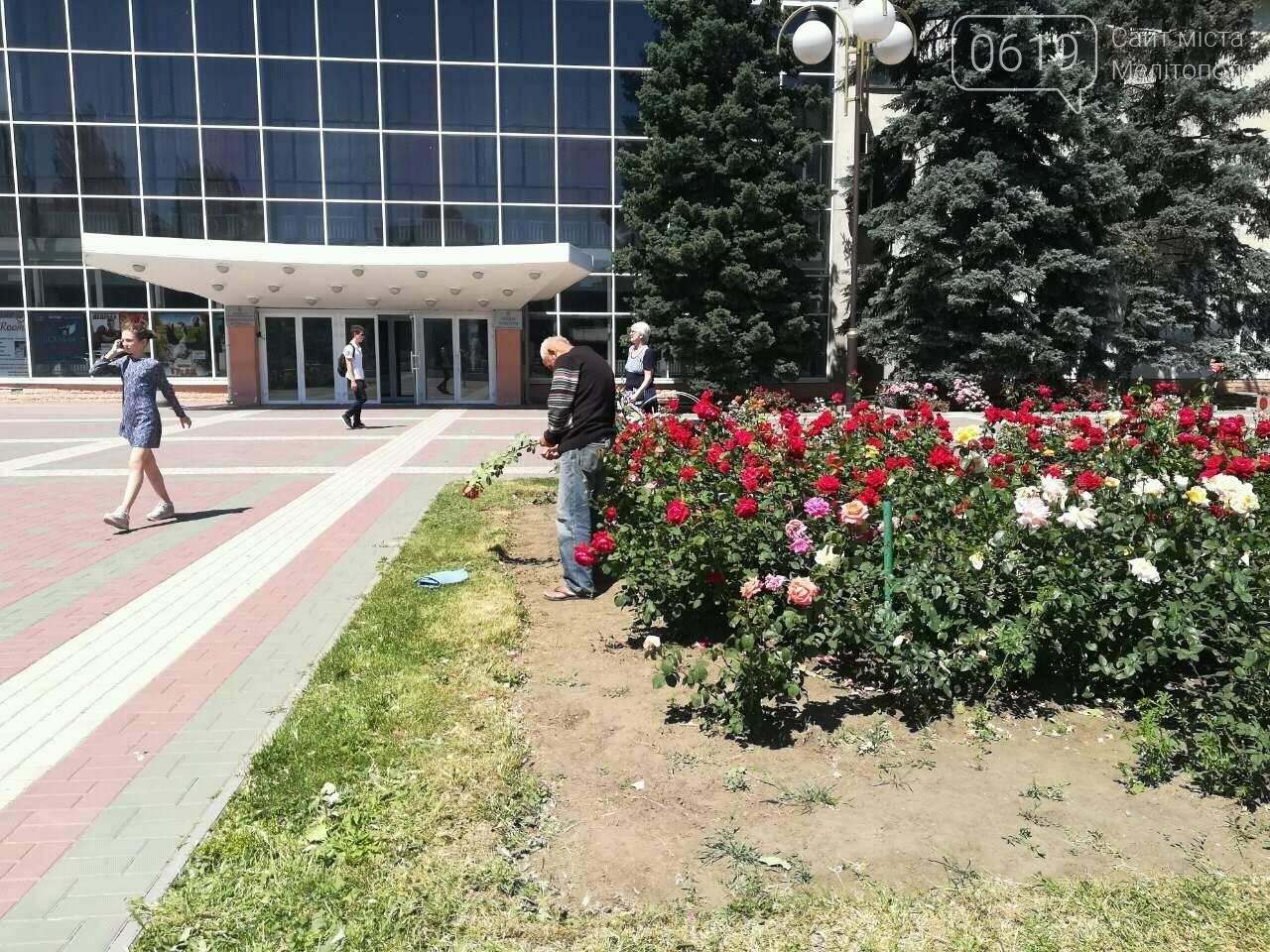"Бездомный ""романтик"" оборвал клумбу в центре Мелитополя  , фото-1"