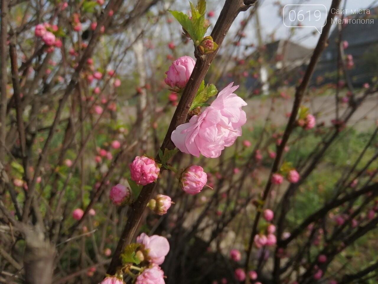 В Мелитополе расцвели майские розы, фото-1, Фото сайта 0619