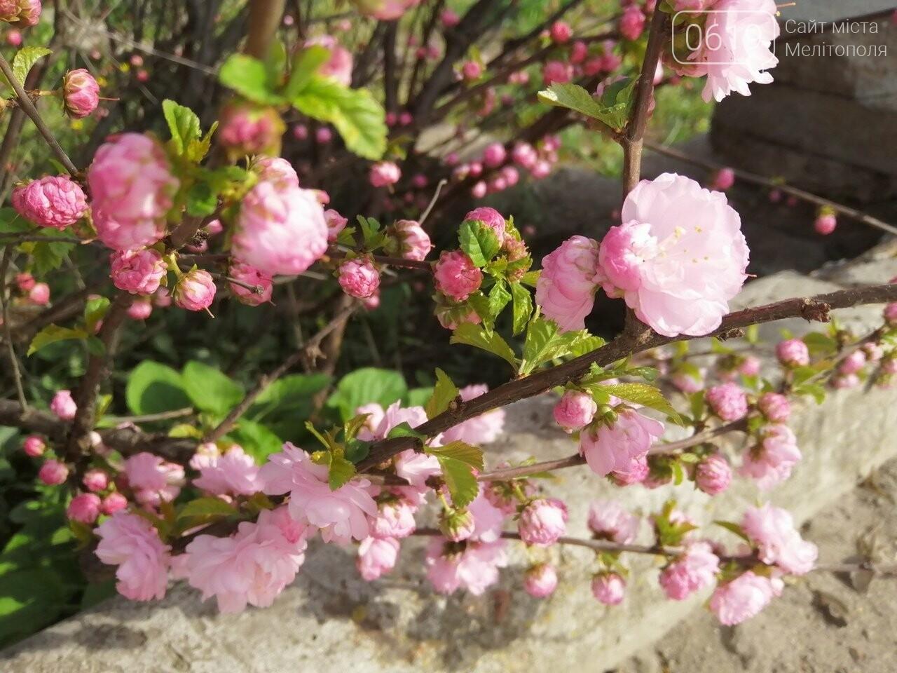 В Мелитополе расцвели майские розы, фото-3, Фото сайта 0619