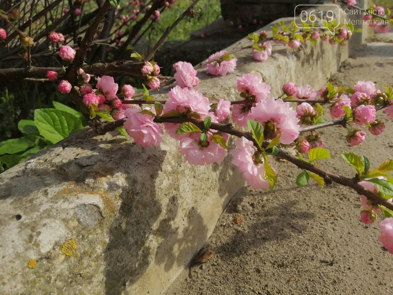 В Мелитополе расцвели майские розы, фото-2, Фото сайта 0619