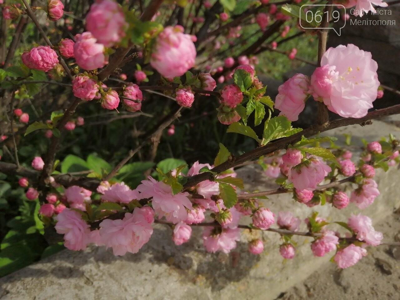 В Мелитополе расцвели майские розы, фото-5, Фото сайта 0619