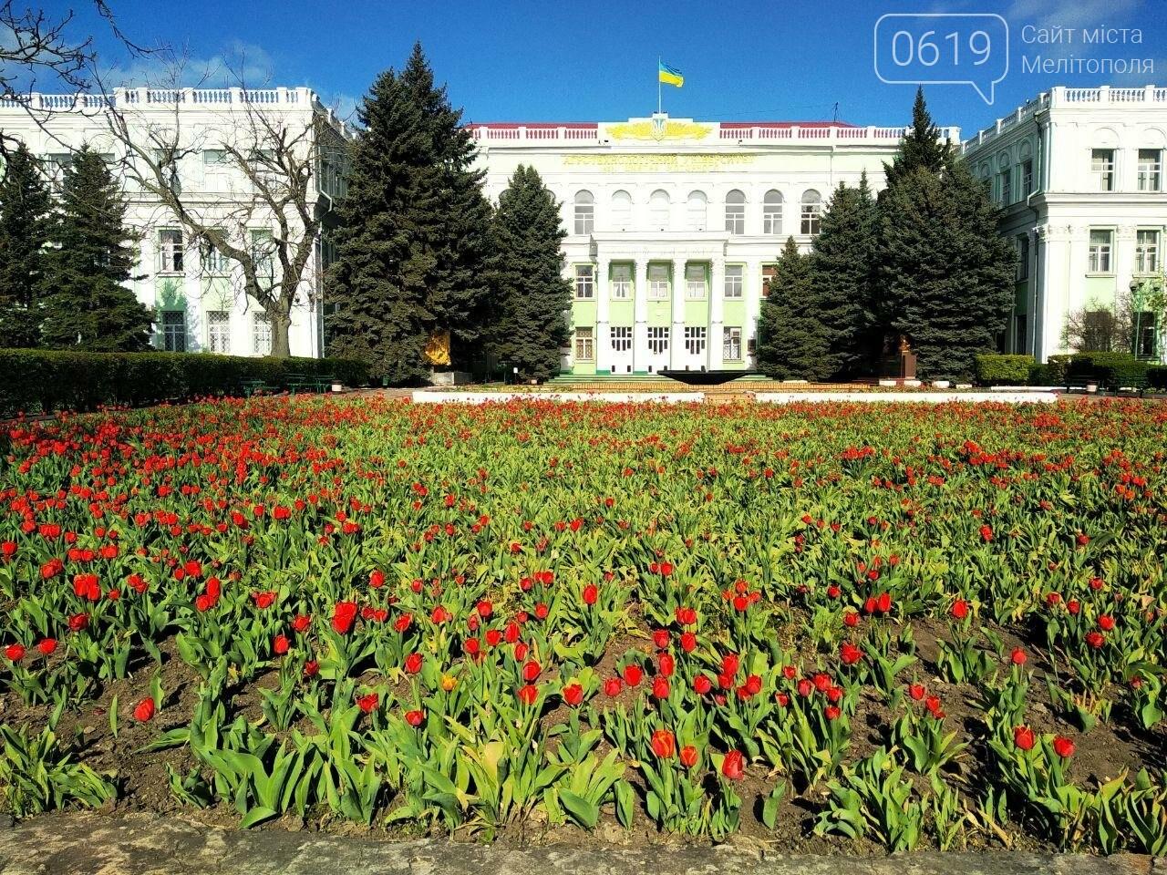 У центрі Мелітополя квітнуть сотні тюльпанів, фото-1