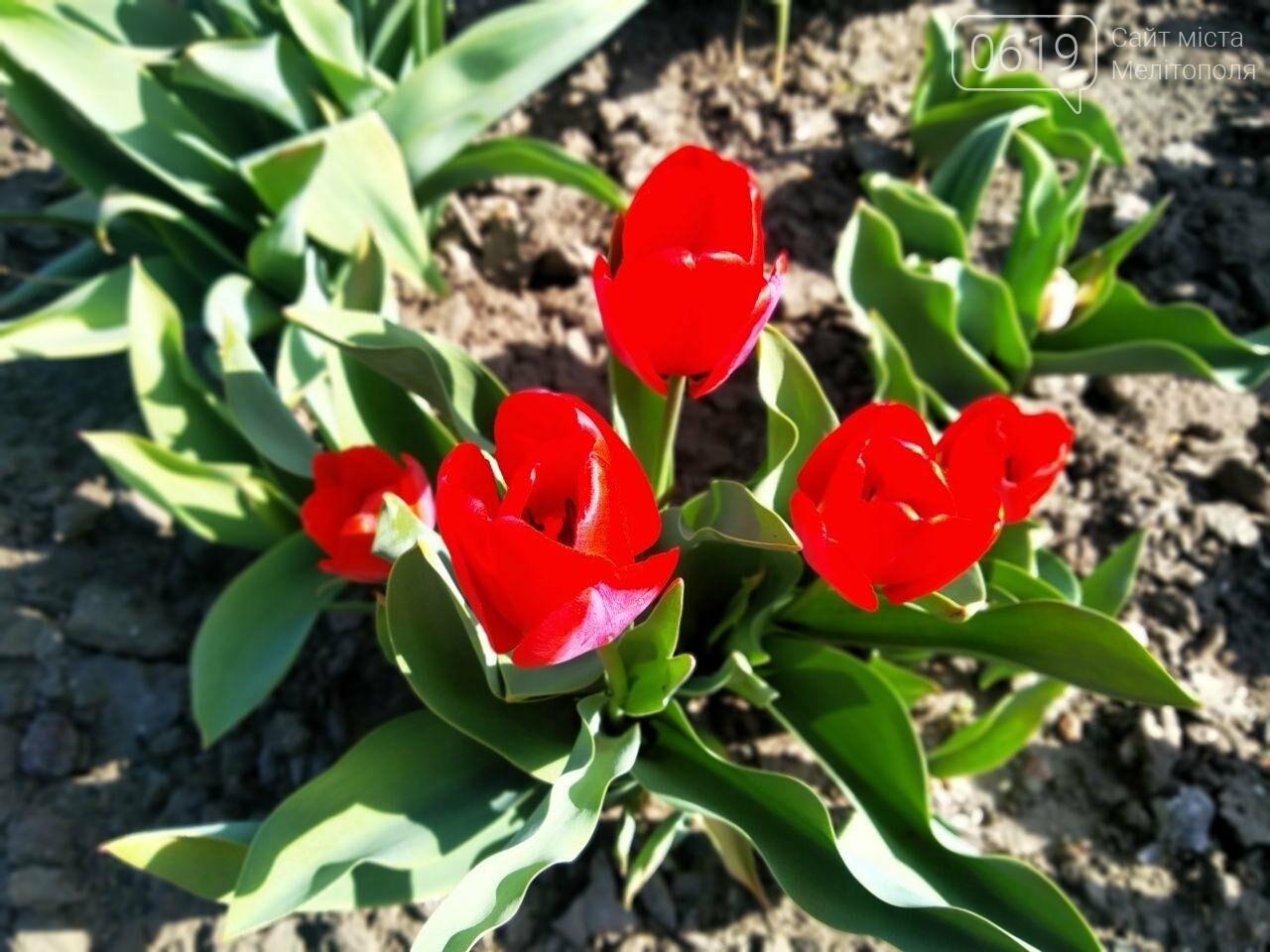 У центрі Мелітополя квітнуть сотні тюльпанів, фото-5