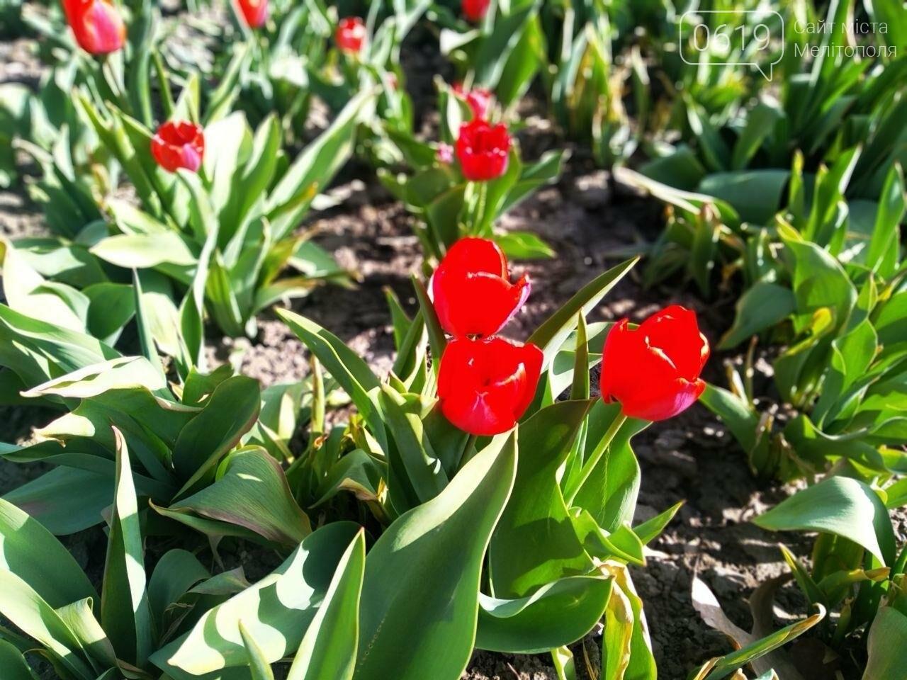 У центрі Мелітополя квітнуть сотні тюльпанів, фото-6