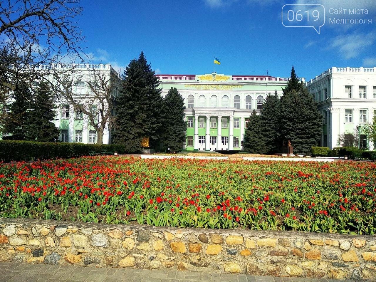 У центрі Мелітополя квітнуть сотні тюльпанів, фото-3