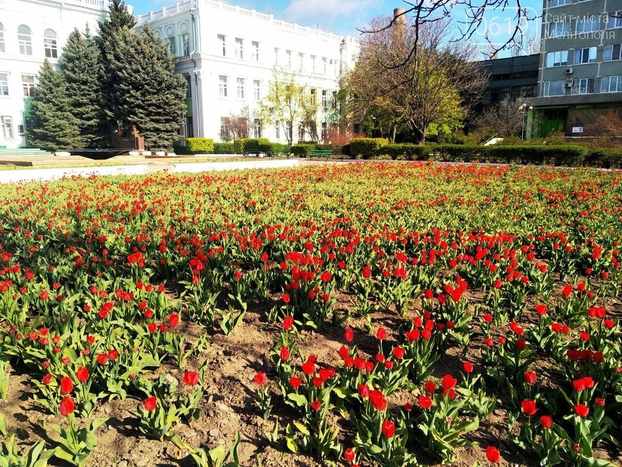 У центрі Мелітополя квітнуть сотні тюльпанів, фото-4