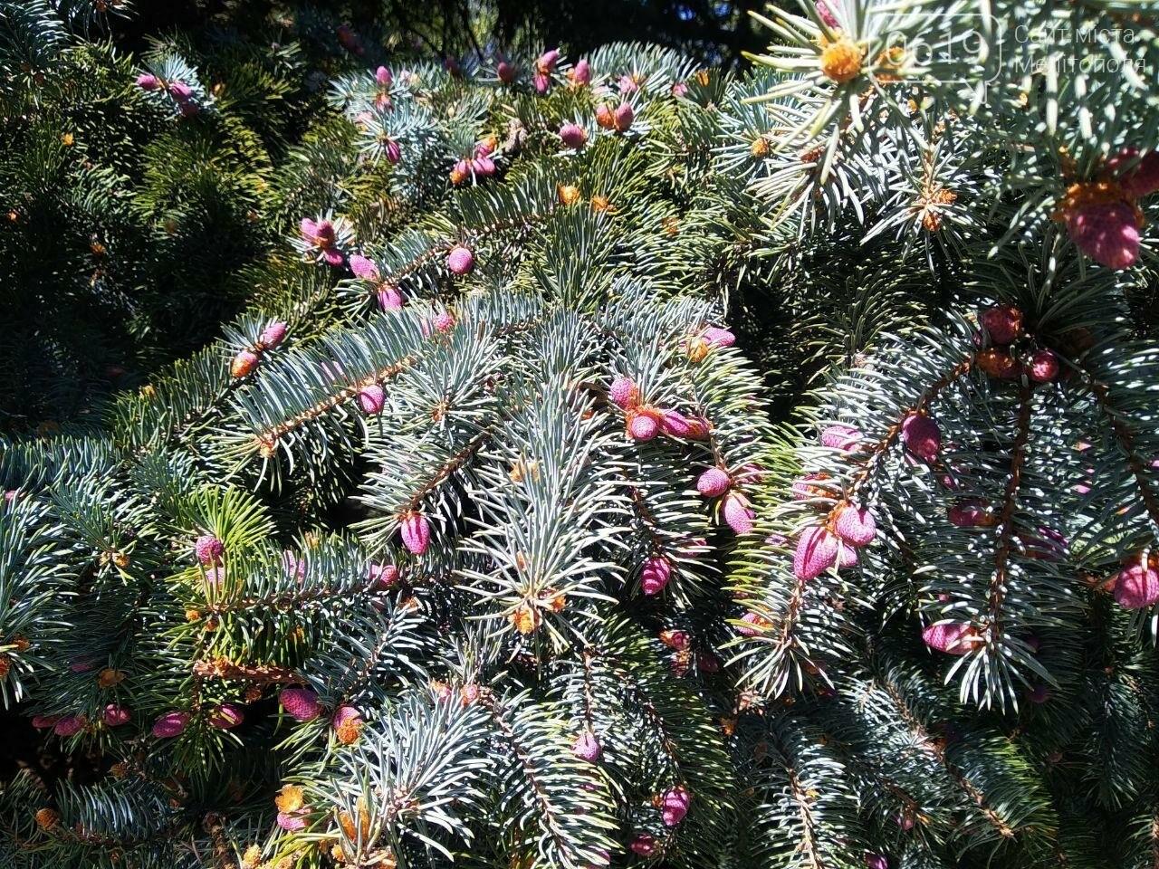 В мелитопольском парке цветет ель, фото-1