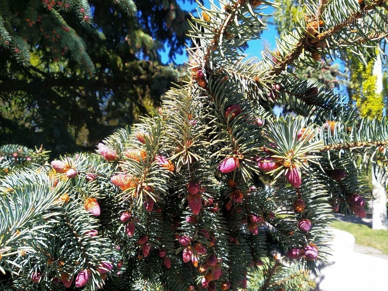 В мелитопольском парке цветет ель, фото-2