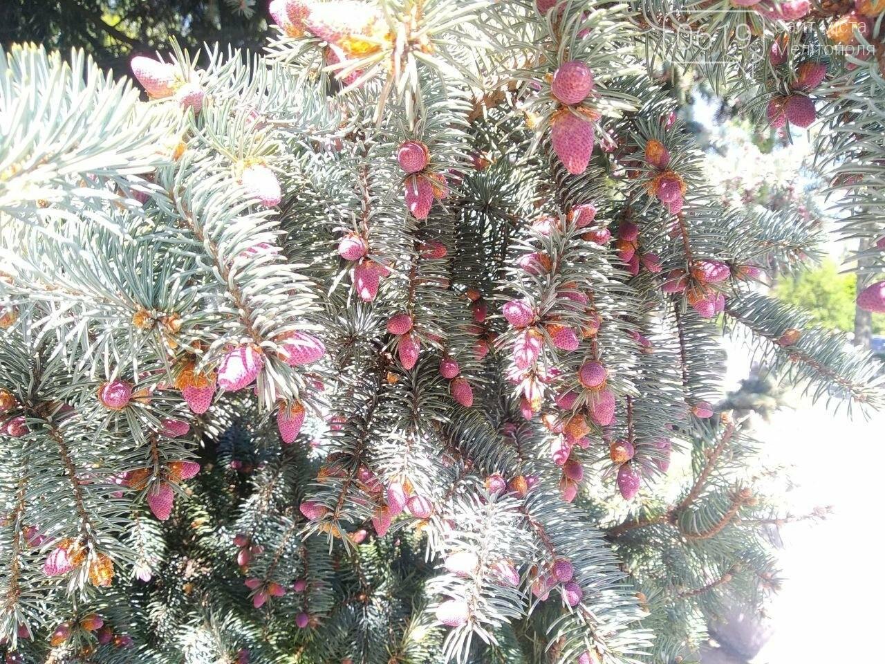 В мелитопольском парке цветет ель, фото-3