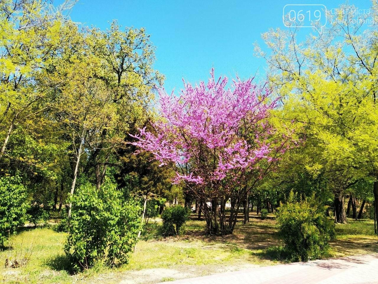В мелитопольском парке цветет робиния, фото-3