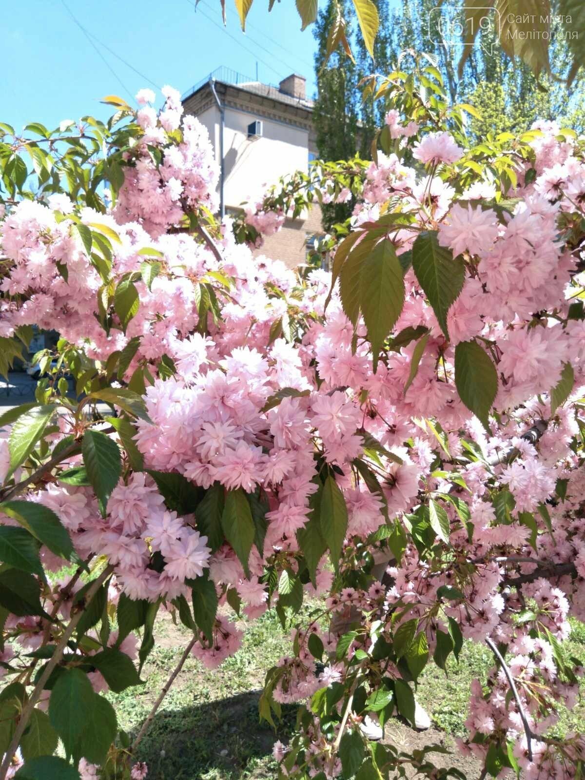 Цветущий и благоухающий Мелитополь: по городу идет весна, фото-11