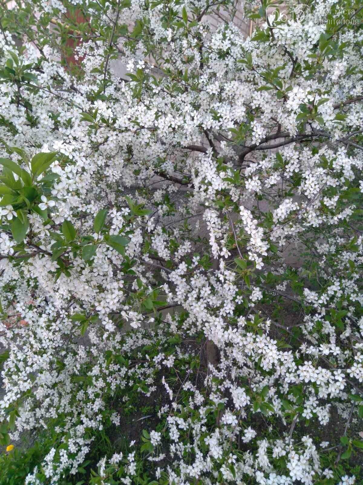 Цветущий и благоухающий Мелитополь: по городу идет весна, фото-13