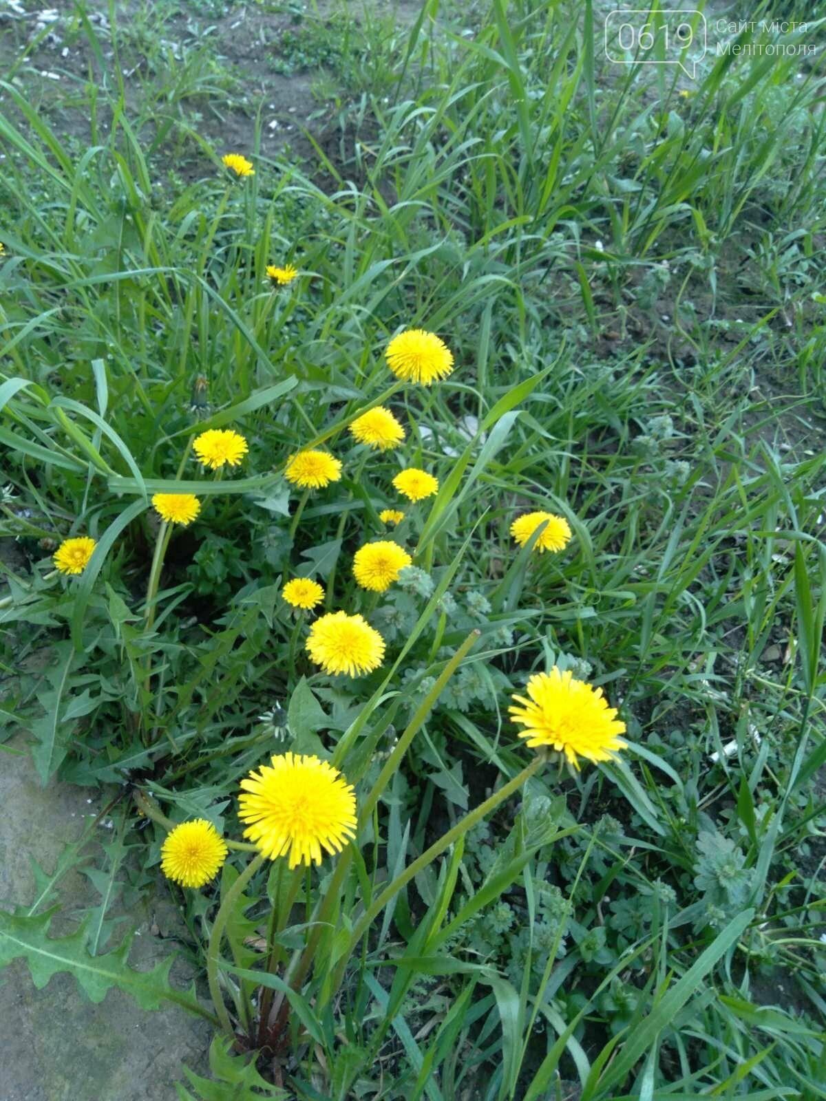 Цветущий и благоухающий Мелитополь: по городу идет весна, фото-5