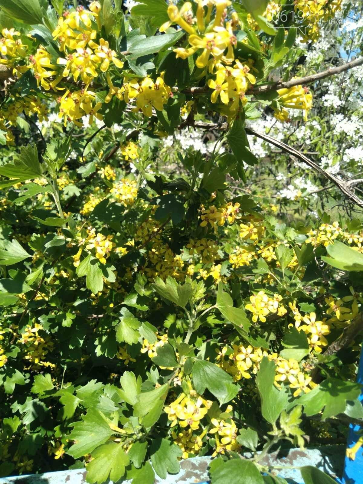 Цветущий и благоухающий Мелитополь: по городу идет весна, фото-12