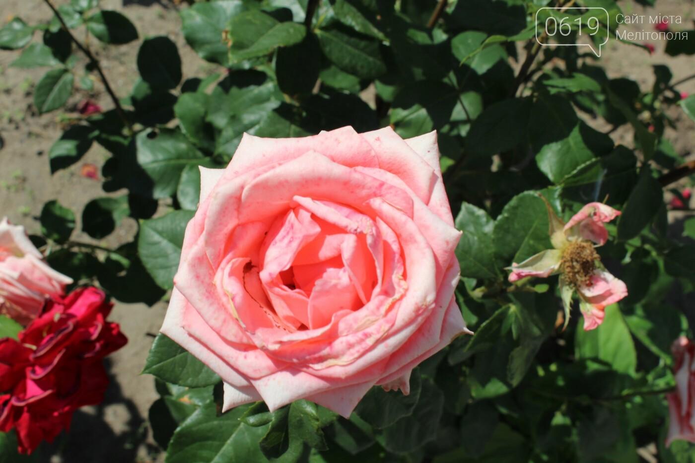 Мелитополь - город роз: королева цветов повсюду, фото-6