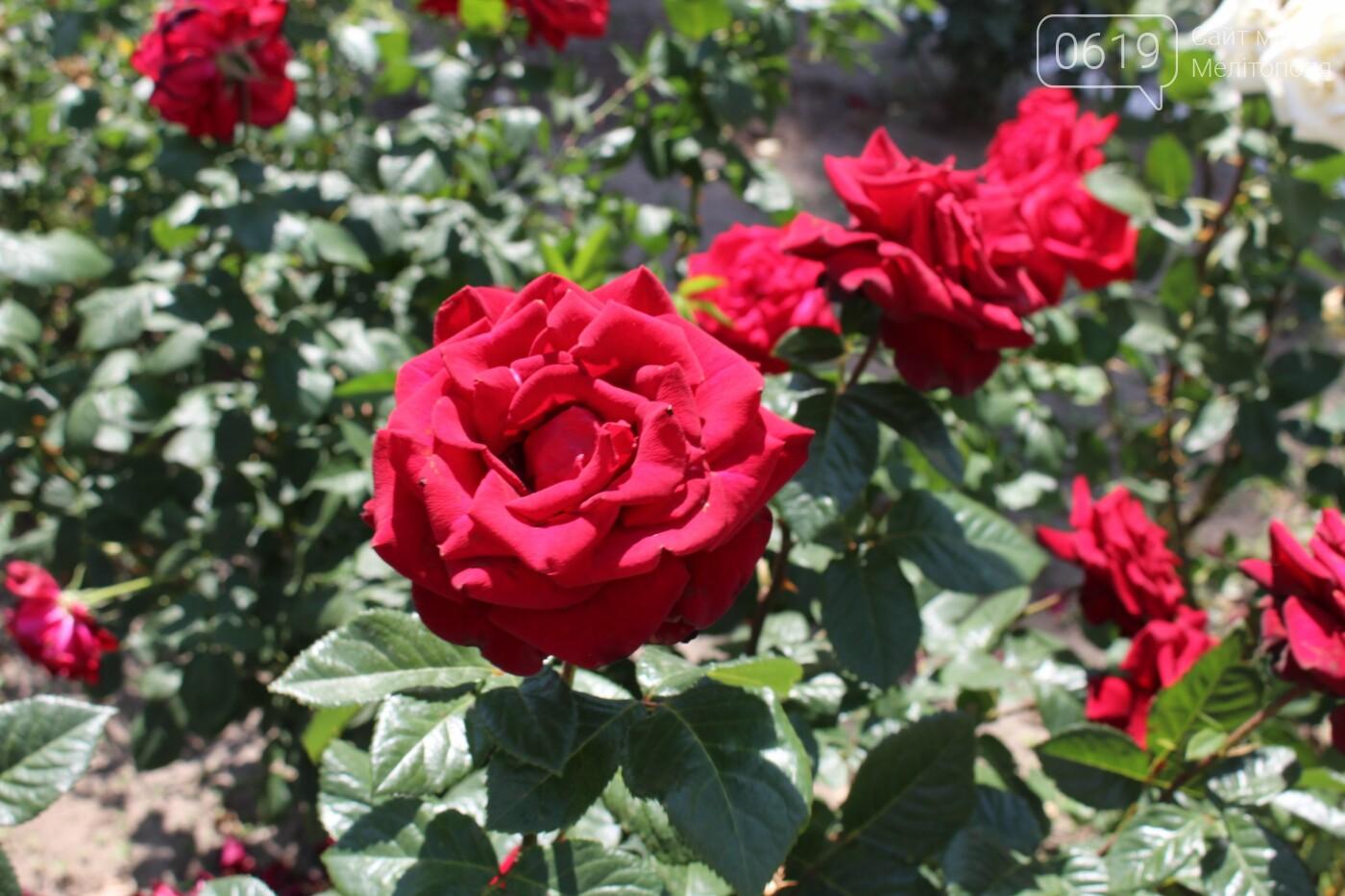 Мелитополь - город роз: королева цветов повсюду, фото-5