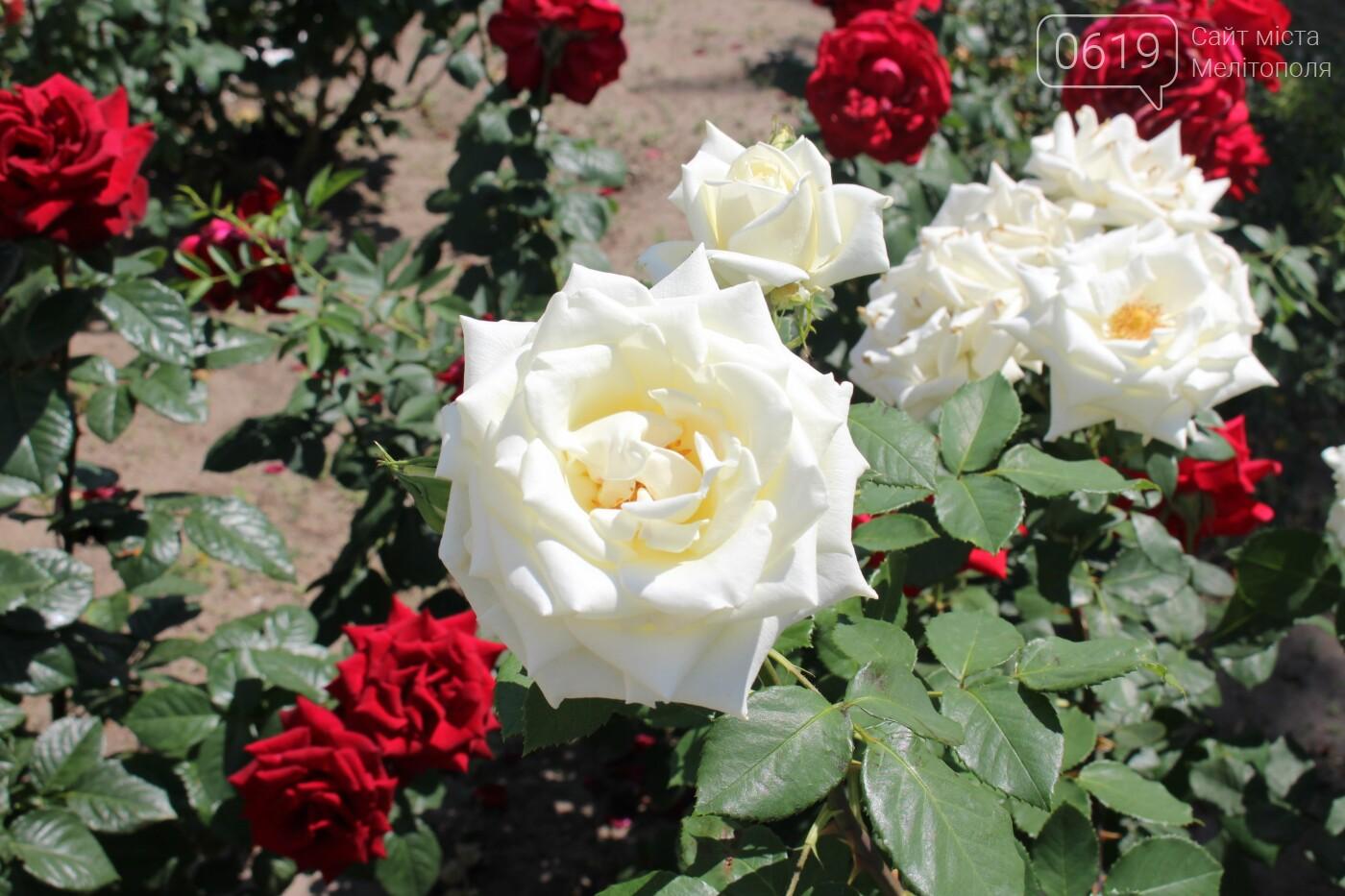 Мелитополь - город роз: королева цветов повсюду, фото-4