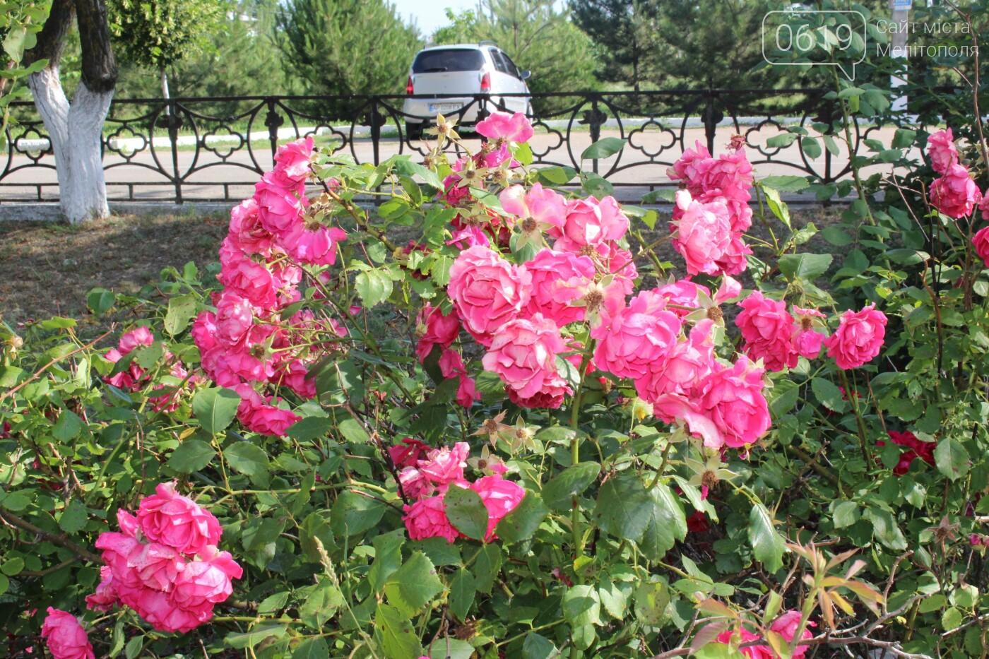 Мелитополь - город роз: королева цветов повсюду, фото-9