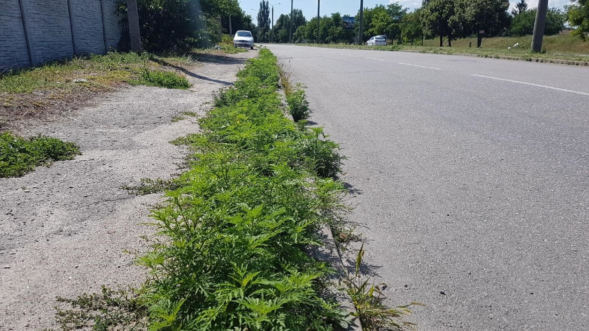 Жители Запорожья жалуются на амброзию, фото-2