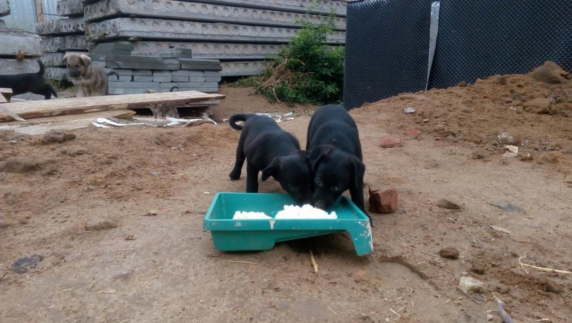 Двухмесячным щенкам ищут дом, фото-3, Фото из соцсети