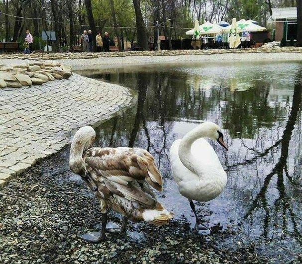 """""""Один серый, другой белый"""": пару лебедей выпустили на новый пруд, фото-1"""
