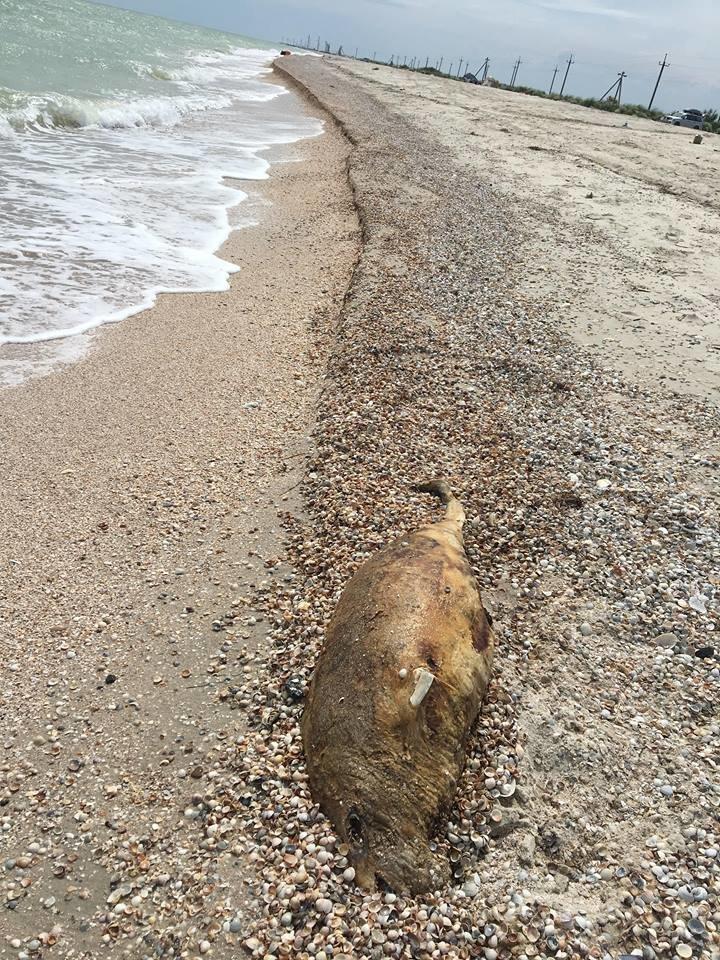 На берегу Азовского моря нашли мертвого дельфина, фото-2, Фото IPnews