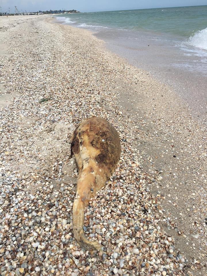 На берегу Азовского моря нашли мертвого дельфина, фото-1, Фото IPnews