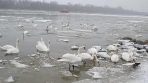 На Мелітопольщині врятували лебедів, фото-1