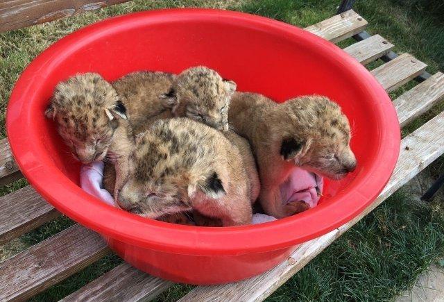 В мелітопольському зоопарку народилися левенята, фото-1