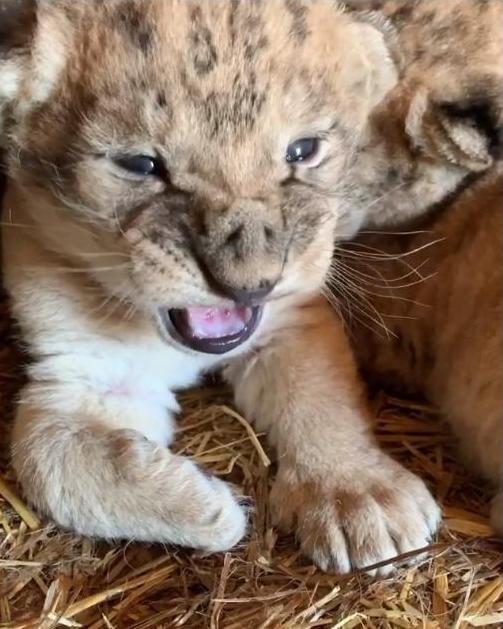 В мелитопольском зоопарке показали новорожденных львят, фото-1