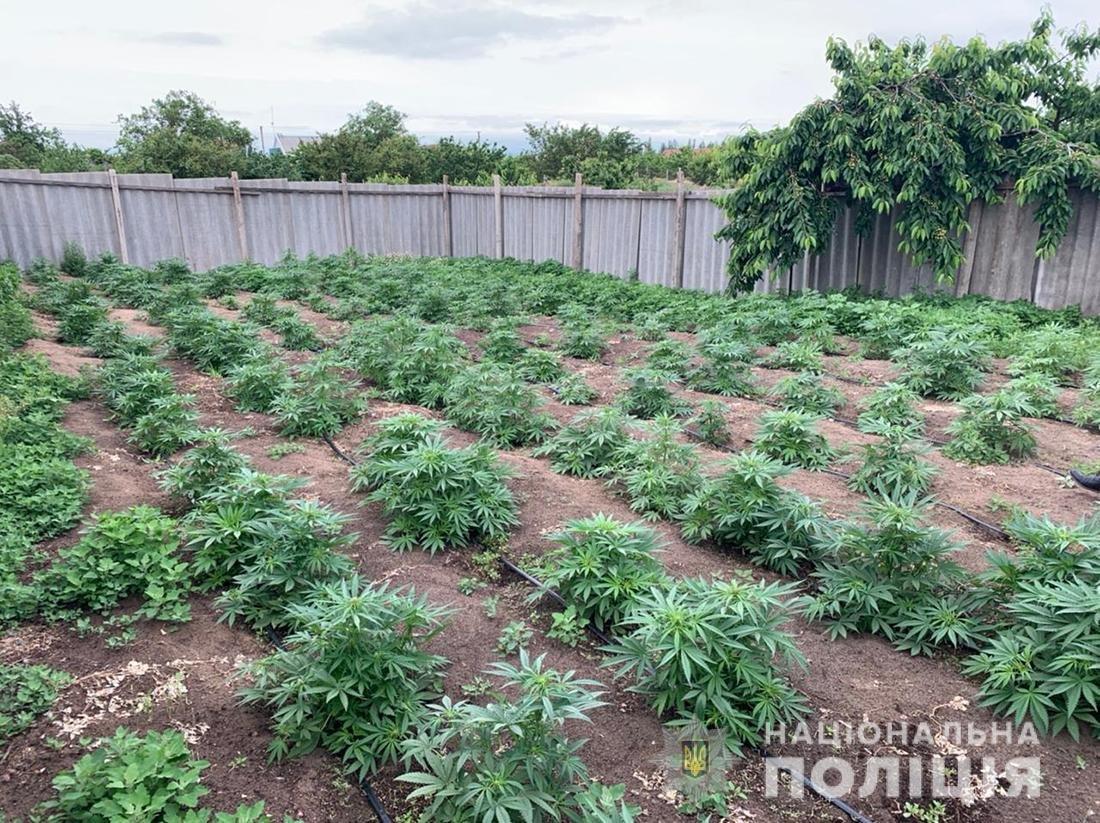Обнаружена плантация конопли под Мелитополем, фото-1